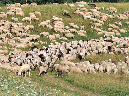 Herde  Elberadweg: Deichschafe kommen als Herde